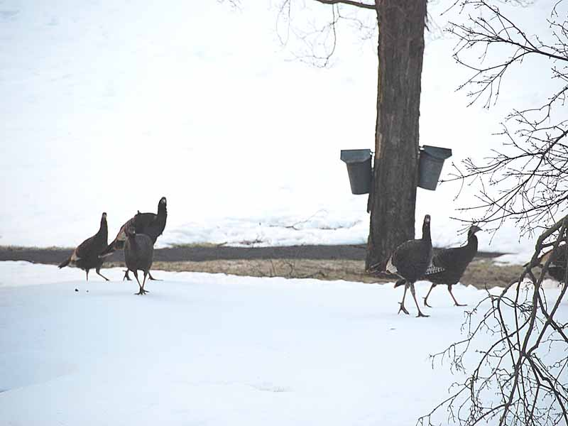 turkeys on the lawn