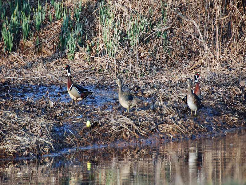 wood ducks hunting golf balls